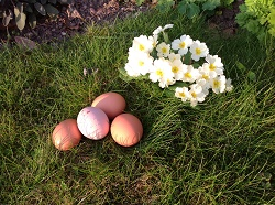 Spring primroses and eggs